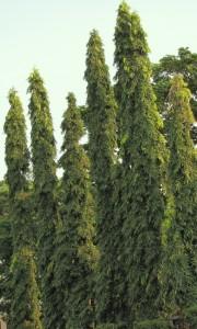 polyalthia-longifolia-trees1