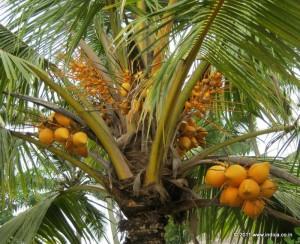 kerala-coconut-tree