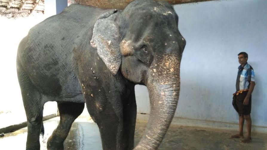 Pazhani Private Elephant Lakshmi-1