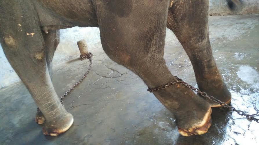 Pazhani Private Elephant Lakshmi-2