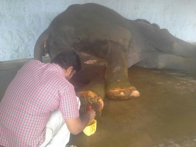 Lakshmi the elephant-1