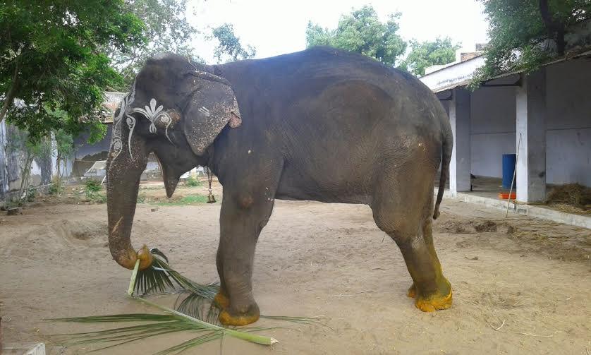 Lakshmi the elephant-5
