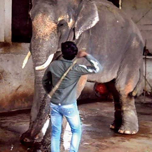 Sunder the Elephant-1